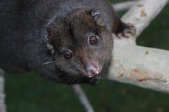 Halny Cuscus w drzewie Zdjęcie Royalty Free