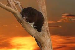 Halny Cuscus w drzewie przy zmierzchem obraz royalty free