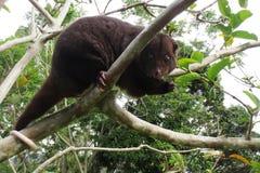 Halny cuscus w guava drzewie Fotografia Royalty Free