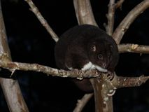 Halny Cuscus w guava drzewie przy nocą Fotografia Royalty Free