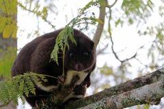 Halny cuscus w Papua - nowa gwinea fotografia royalty free