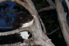 Halny Cuscus wspina się guava drzewa przy nocą Obraz Stock