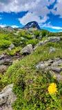 Halny dandelion Norwegia Obrazy Royalty Free