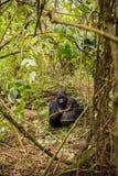 Halny goryl w Rwanda Zdjęcia Stock