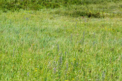 Halny herbage dzika trawa Zdjęcie Royalty Free
