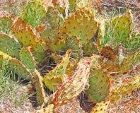 Halny kaktus Zdjęcie Stock