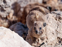 Halny królik siedzi między skałami na ranku - daman - Fotografia Royalty Free