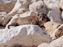 Halny królik siedzi między skałami na ranku - daman - Zdjęcia Stock