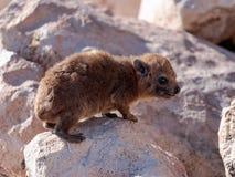 Halny królik siedzi między skałami na ranku - daman - Obraz Royalty Free