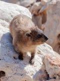 Halny królik siedzi między skałami na ranku - daman - Fotografia Stock