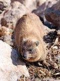 Halny królik siedzi między skałami na ranku - daman - Obrazy Stock