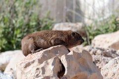 Halny królik siedzi między skałami na ranku - daman - Zdjęcie Stock