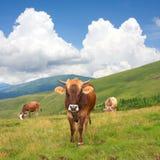 halny krowa paśnik Zdjęcia Stock