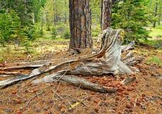 Halny las Zdjęcie Royalty Free