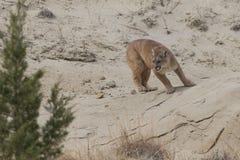Halny lew blisko meliny Zdjęcie Stock