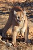 Halny lew chroni świeżego zwłoka Fotografia Stock
