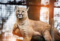Halny lew, kuguar, puma portret obraz stock