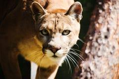 Halny lew, kuguar, puma portret zdjęcie royalty free