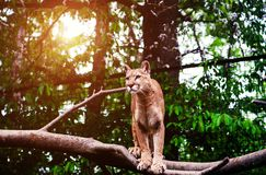 Halny lew, kuguar, puma portret obrazy stock