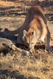 Halny lew na świeżym zwłoka Zdjęcia Royalty Free