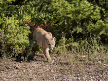 Halny lew na grasującym Zdjęcie Stock