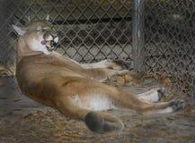 Halny lew - oblizanie kotleciki Fotografia Royalty Free