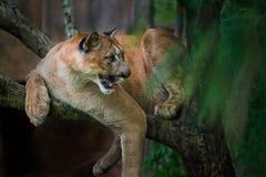 Halny lew; puma Zdjęcie Royalty Free