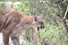 Halny lew w swój siedlisku fotografia stock