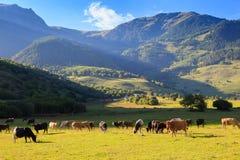 Halny obszar trawiasty z pastwiskowymi krowami Fotografia Stock