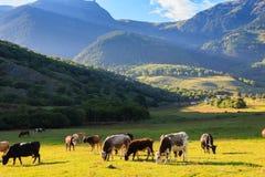 Halny obszar trawiasty z pastwiskowymi krowami Zdjęcia Stock