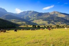 Halny obszar trawiasty z pastwiskowymi krowami Obrazy Stock
