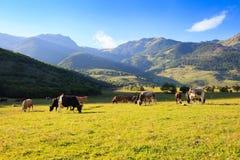 Halny obszar trawiasty z pastwiskowymi krowami Fotografia Royalty Free