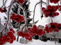 Halny popiół w śniegu Fotografia Royalty Free