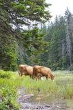 Halny scenary z pasać krowami przy letnim dniem Obraz Royalty Free
