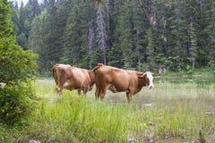 Halny scenary z pasać krowami przy letnim dniem Obrazy Royalty Free