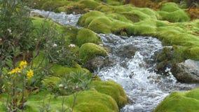 Halny strumyk wśród kamieni zakrywających z zielonym mech przejrzysty, czysty prąd woda, płynie wśród mech 4K zbiory