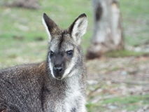Halny wallaby zdjęcie stock