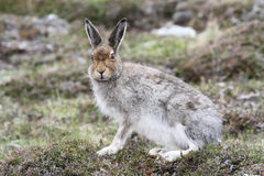 Halny Zajęczy Lepus timidus w średniogórzach Szkocja w swój lata brązu żakiecie Fotografia Royalty Free