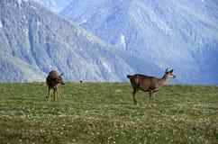 Halnych deers Olimpijski park narodowy Zdjęcia Royalty Free