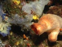 Halocyntia papillosa Stock Image