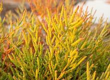 Halophyte- roślina która r w wodach Fotografia Stock