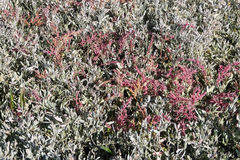 Halophytes at the mudflats in autumn Stock Photography