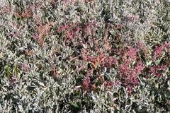 Halophytes nos mudflats no outono fotografia de stock