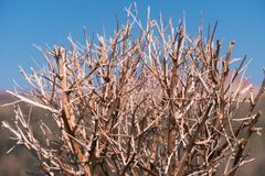 Haloxylon Δέντρο Saxaul στην έρημο, το πρωί άνοιξη, το Καζακστάν, τις εγκαταστάσεις Haloxylon και τον αμμόλοφο άμμου Ο θάμνος Sax Στοκ Φωτογραφία