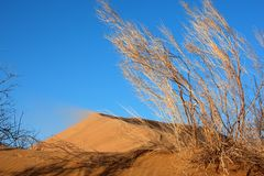 Haloxylon plants and sand dune Royalty Free Stock Images