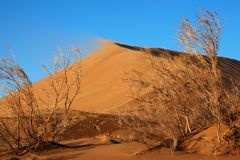 Haloxylon plants and sand dune Stock Photography