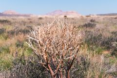 Haloxylon. Saxaul tree in desert, spring morning, Kazakhstan, Haloxylon plants and sand dune. Shrub Saxaul grows in Stock Photos