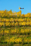 Haloze Hills, Vineyard With Klopotec In Autumn Stock Image