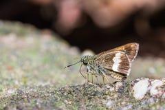 Halpe-zola Schmetterling Stockbild