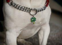 Hals av en hund med en krage och en berlock av en bladväxt av släktet Trifolium arkivfoton